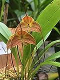 Andy`s Orchids - Masdevallia triangularis - Orchid Plant - Miniature - Indigenous to Venezuela