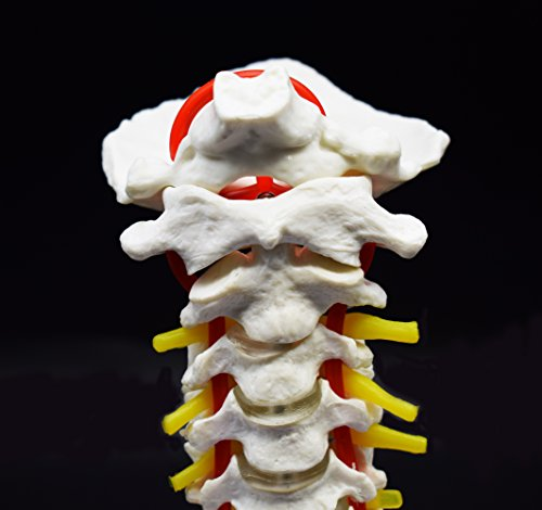 Cervical Vertebra Arteria Spine Spinal Nerves Anatomical Model Anatomy for Science Classroom Study Display Teaching Medical Model by shawn science (Image #3)
