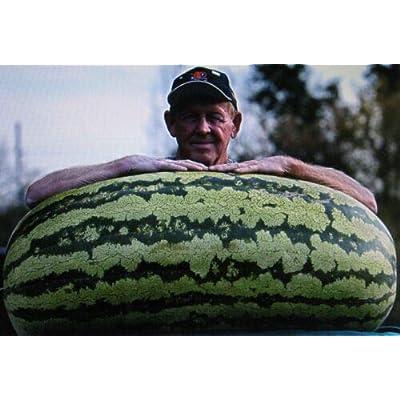 Grandiosy Bulk 600 Seeds Competition WATERMELONCROSS HYBRIDMEDICINAL : Garden & Outdoor