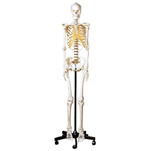 Adult (Cheap Skeletons For Halloween)