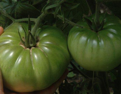 Aunt Ruby's German Green Tomato 65 Seeds-GARDEN FRESH!