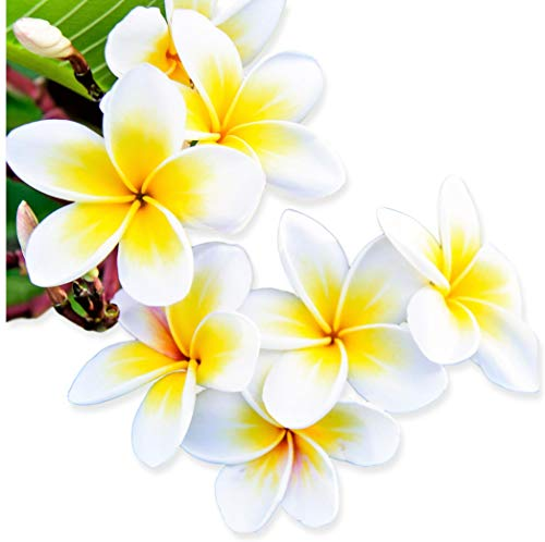 Plumeria - Select Yellows & Whites Plants - Not Just Cuttings. Fragrant Blooms This Summer. Stout 12