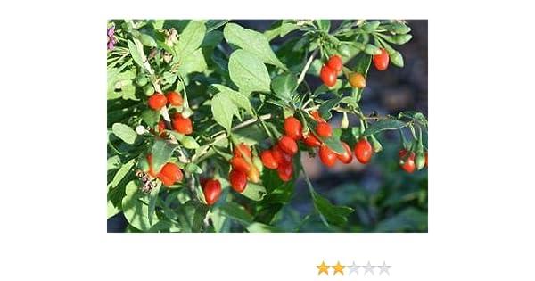 Amazon Com 2 Goji Berry Lycium Barbarum Live Plant Rooted