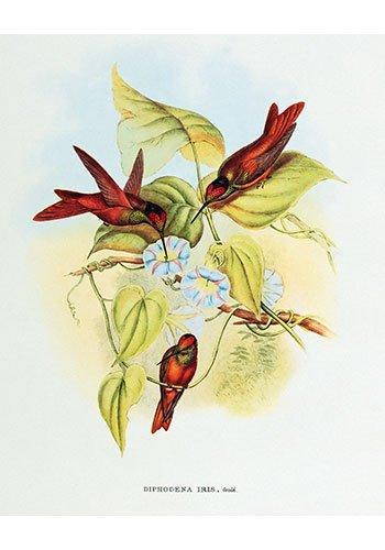 Diphogena Iris Hummingbird by John Gould Vintage Art Print Poster