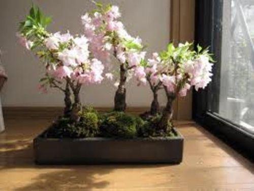 10 Japanese Flowering Cherry Seed Imported Prunus Serrulata Bonsai - Landscape
