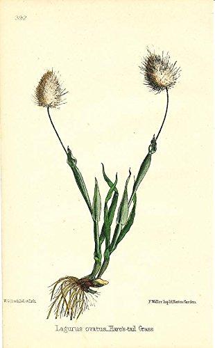 Hare's-tail Grass 1869 fine antique color flower botanical print ()