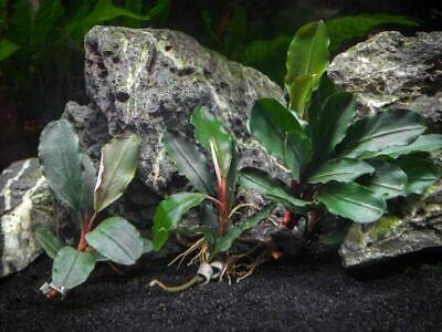 3 Plant Dark Blue Buce Plant (Bucephalandra sp.''Dark Blue'') NHKM33 by NHKM33 (Image #1)