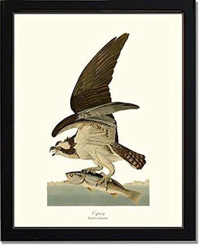 Bird Print Vintage Audubon Art - Osprey