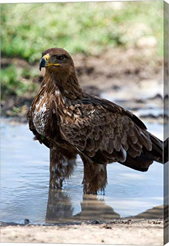 Tawny Eagle - Tawny Eagle, Ndutu, Ngorongoro, Tanzania by Panoramic Images Canvas Art Wall Picture, Gallery Wrap, 32 x 48 inches