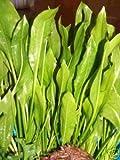 1 x Echinodorus bleheri, Aquariumpflanze, barschfest