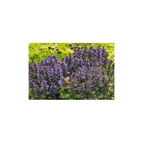"Hot ( 4.5"" pot/10 count flat) Ajuga reptans 'Blueberry Muffin' -Extremely vigorous, small leaved groundcover with dark new leaves and blueberry-blue flowers on 8"" spikes hot sale"