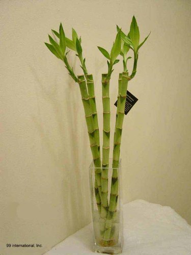 Lucky Bamboo - 5 Stem (18'' Straight) w/ 10''H Clear Glass Vase