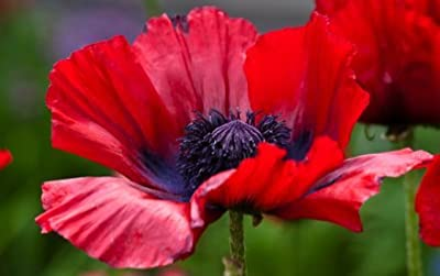 "Oriental Poppy(papaver Orientale) ""scarlet Orange"" An Incredible Perennial Satin Like Petals Low Maintenance Showy Blooms Approx 150 Seeds"