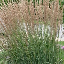 - Karl Foerster Feather Reed Grass - 3 Bareroot Plants
