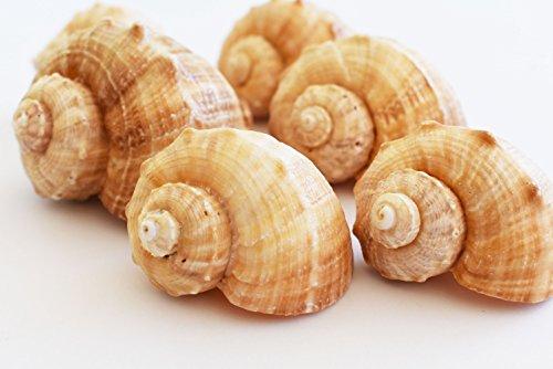- Florida Shells and Gifts Inc. 6 Large Rapana Whelk Shells Seashells 2
