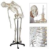 Axis Scientific Life Size Flexible Skeleton Anatomy Model Bundle, 5' 6