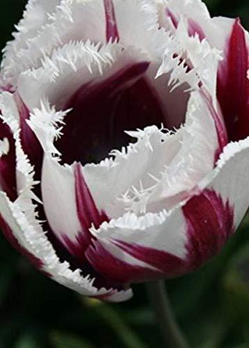 - 10 x 'Fringed Tulip Bulbs 'Flaming Baltic' Unusual immediate Dispatch