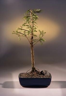 Bonsaiboy Bald Cypress Bonsai Tree (taxodium distichum)