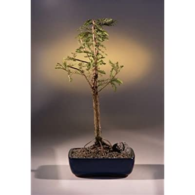 Bald Cypress Bonsai Tree (taxodium distichum): Garden & Outdoor