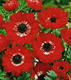 10 Anemone coronaria - 'The Governor' bulbs