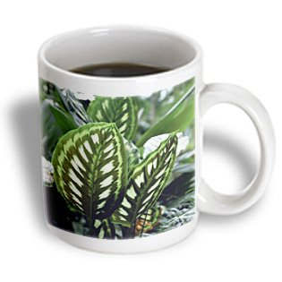 Danita Delimont - Flora - Window flora, Calathea Libbyana - NA01 DPB0000 - Douglas Peebles - 11oz Mug (mug_83377_1)