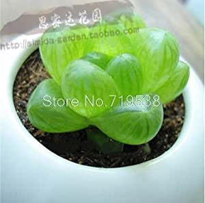 20seeds/bag Radiation potted flowers and sedum succulent meat quality seed Best Little Garden home plant easy grow Summer bonsai