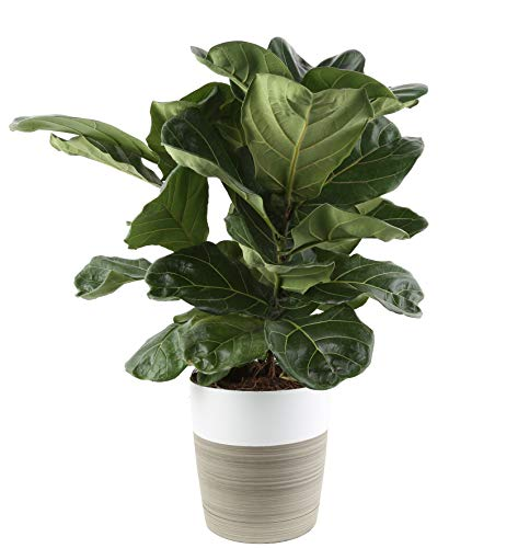 Costa Farms Live Ficus Lyrata, Fiddle-Leaf Fig, Indoor Tree, 2-Feet Tall, Ships in Décor Planter, Fresh From Our Farm by Costa Farms (Image #4)