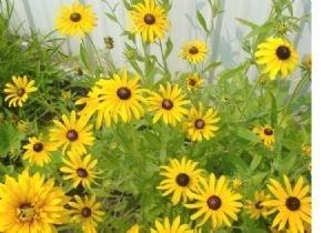Amazon 26 000 black eyed susan flower seeds rudbeckia 26000 black eyed susan flower seeds mightylinksfo