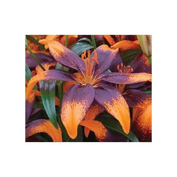 Perennial Asiatic Lily Orange Flower Impressive Lion Heart Pretty Blooming Bulb