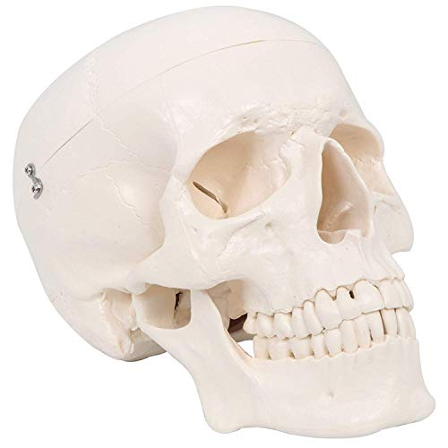 Maad Scientific Medical Anatomical Skull Model – 3 parts – Life Sized Human Mold