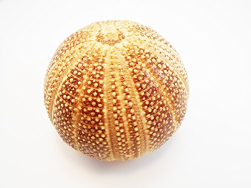 Cottage Sea (One Large Red English Channel Sea Urchin Shell (4-4.5