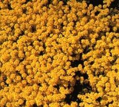 130 Seeds Of Gold Dust Sf232  Aurinia Saxatilis