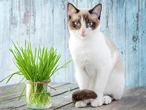 Alyf Market Cat Grass Oat 700+ Seeds, 1/2 oz ()