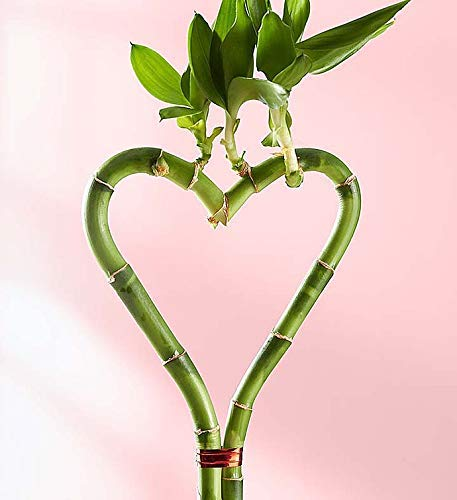 1800Flowers Heart Shaped Bamboo Plant in Glass Planter (Triple Heart)