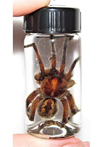 Bicbugs, LLC Real Huge Giant Wolf Spider Tarantula Preserved in Vial Wet Specimen