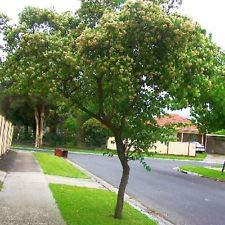 5 Washington Hawthorn Tree Seeds - Crataegus Phaenopyrum