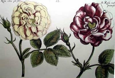 Crispen De Passe - Elephant Roses I Oversize Hand Colored