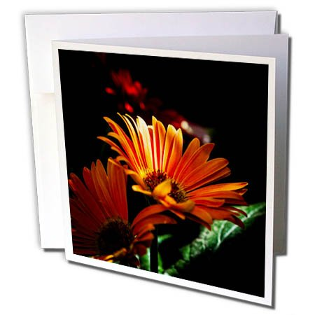 3dRose Alexis Photography - Flowers Daisy - Sunlit Orange Daisy Flower Against The Dark Background - 12 Greeting Cards with envelopes ()
