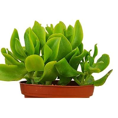 Ripple Jade Crassula Arborescens Undulatifolia 4