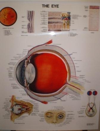 The Eye. Anatomical Chart (Poster, Anatomical Chart Co.)