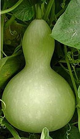 SVI 50pcs Bottle Gourd Vegetable Seeds
