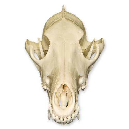 Real Coyote Skull - Perfect