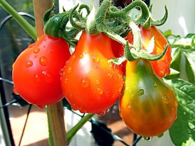 Tomato RED Pear Great Heirloom Garden Vegetable 100 ()