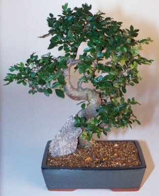 Bonsaiboy Chinese Elm Bonsai Tree - Extra Large Curved Trunk Style Ulmus Parvifolia