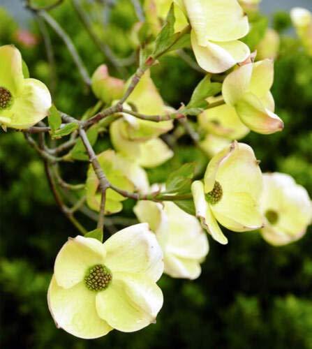 Details About Pacific Dogwood - Cornus nuttallii - White Flowers - 16-18