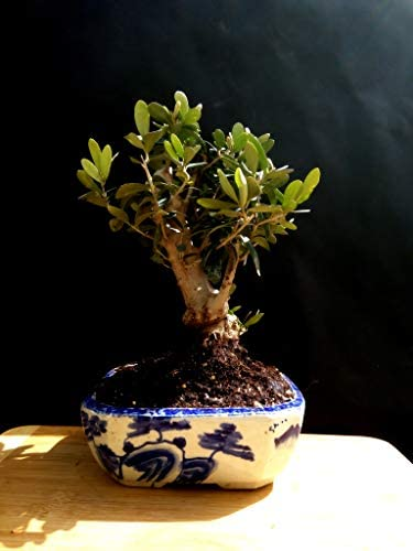 Amazon Com Olive Tree Bonsai Approximately 20 Years Old Grocery Gourmet Food
