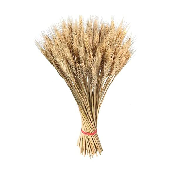 SHZONS-Dried-Wheat-Sheaves-Natural-Wheat-Bouquet-Bunch-Stalk-BundleBride-and-Groom-Holding-FlowersDIY-Home-Kitchen-Table-Wedding-Centerpieces