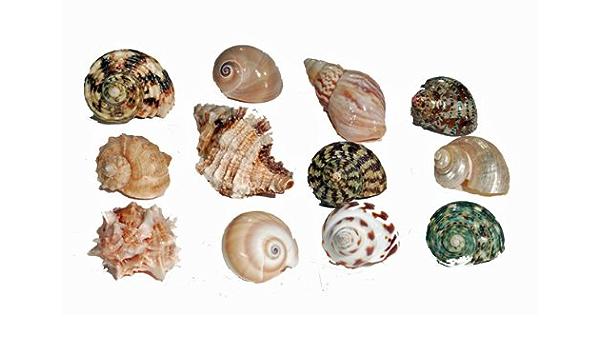 Florida de la investigación Marina sfm34331 12-Pack Hermit Crab Shell, Medio