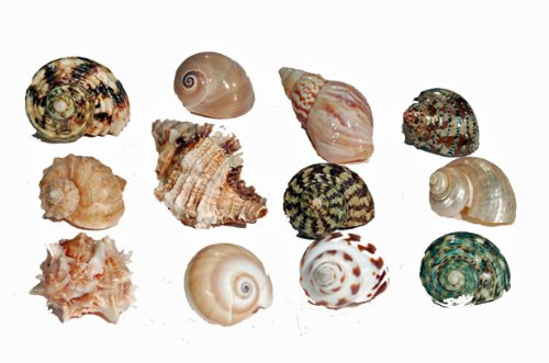 Florida Marine Research SFM34331 12-Pack Hermit Crab Shell, Medium