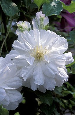 Amazon clematis belle de woking double pure white flowering clematis belle de woking double pure white flowering vine hardy 3 seeds mightylinksfo